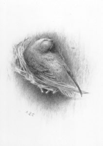 drawing done by Althea Sherman of a chimney swift on the nest in her original tower